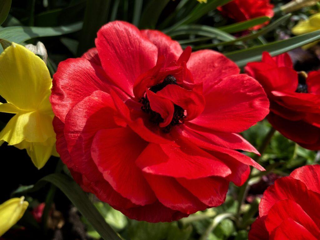 Rosariet i maj