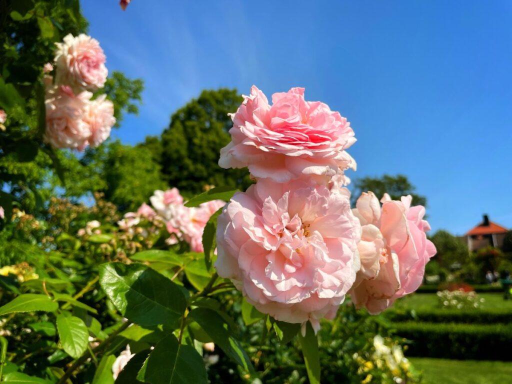 Rosenlunds rosarium